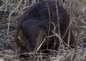 Beaver living on the Nicola River, Merritt BC File Photo KDG