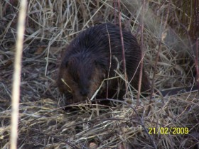 File photo  live beaver on the Nicola River. Photo:KIDG