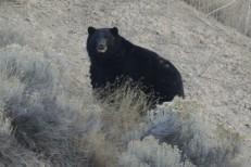 Adult Black Bear Canada October 31 2013