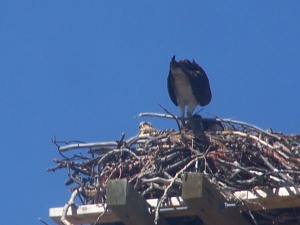 OSPREY AND CHICKS ,JULY 2010 File Photo KDG