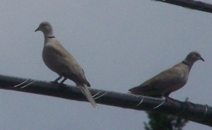 Ring Neck Doves File Photo KDG