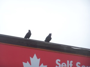 Crows at local gas bar !! File Photo KDG