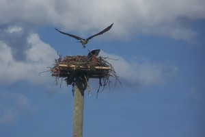 Ospreys returned from where they go in the winter File Photo KDG