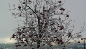 Mountain ash Tree native of England Photo KDG