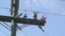 This hawk seems relaxed around electrical fixtures. File Photo KDG