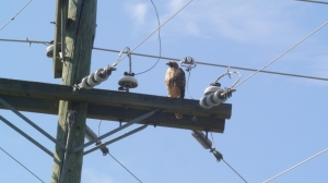 This hawk seems relaxed around electrical fixtures. Photo KDG
