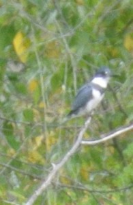 Kingfisher Photo KDG
